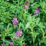 alfalfa-plant